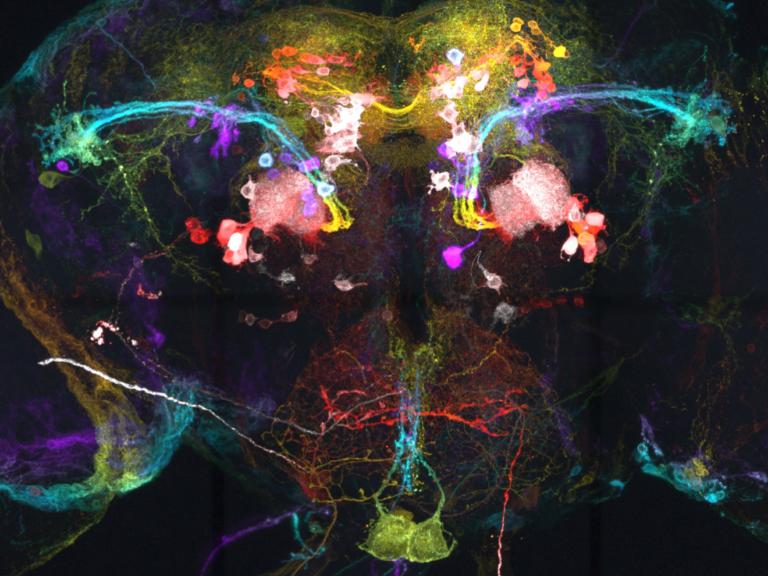 Drosophila olfactory neuron. Image by Li-An Chu. (www.neuroart.com)